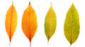 Autumn leaves yellow, red and orange four pieces Royalty Free Stock Photo