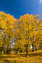 Autumn lime trees against the blue sky Stock Images