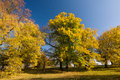 Autumn lime trees against the blue sky Stock Photo