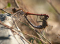 Autumn love pair of ruby darters sympetrum sanguineum mating Stock Photography