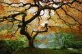 Jeseň javor