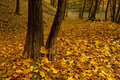 Autumn maple forest Stock Photo