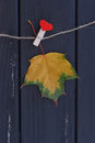 Autumn maple leaf on a clothes line Royalty Free Stock Photo