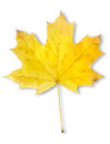 Autumn maple leaf isolated Royalty Free Stock Photos