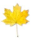 Autumn maple leaf isolated Royalty Free Stock Photo