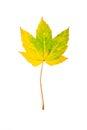Autumn maple leaf isolated on white background Royalty Free Stock Photo