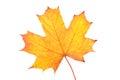Autumn Maple Leaf Isolated On ...