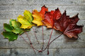 Autumn Maple leaf transition Royalty Free Stock Photo