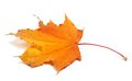 Autumn maple leaf on white background Royalty Free Stock Image
