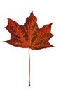 Autumn maple leaf on white background Stock Photography