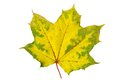 Autumn maple leaf yellow on a white background Royalty Free Stock Photos