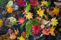 Autumn maple leaves autumnal foliage leaf texture of red yellow and green fallen fall scene different colour Royalty Free Stock Photography