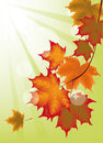Autumn maple leaves background with Stock Photo