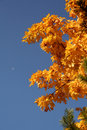 Autumn maple with leaves on a background of the light-blue sky Stock Photography