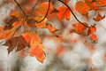 Autumn maple leaves background red tree of on a warm concrete textured great image for backgrounds Royalty Free Stock Photography
