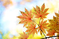 Autumn maple leaves beautiful liaoning china Royalty Free Stock Images