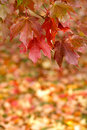 Autumn Maple Leaves Hanging from tree Stock Photo