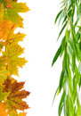 Autumn maple leaves and willow on a white background
