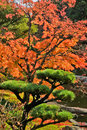 Autumn Maple and Pine Tree in Japanese Garden Royalty Free Stock Photo