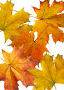 Autumn maple slips Royalty Free Stock Photo