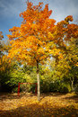 Autumn maple tree colorful in the park Royalty Free Stock Photo