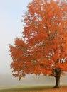 Autumn Maple Tree