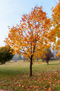 Autumn Maple Tree In A Park.