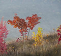 Autumn maple trees with colorful foliage on a background of fog Stock Photo
