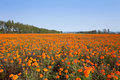Autumn marigold Field Royalty Free Stock Images