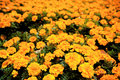 Autumn marigolds Stock Photo