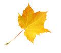 Autumn marple leaf yellow over white background Royalty Free Stock Photo
