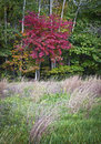 Autumn meadow a red leaf maple tree stands out against the green in this central new jersey woodland Stock Image