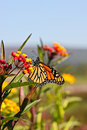 Autumn Monarch Butterfly Vivid Yellow Orange Royalty Free Stock Photography