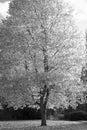 Autumn monochrome tree