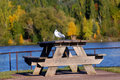 Autumn morning at waterfront park lone seagull rests on wooden picnic table in in houghton michigan portage lake and fall foliage Stock Photo