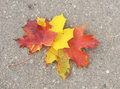 Autumn multi colored maple leaves on the sidewalk Royalty Free Stock Image