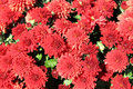 Autumn Mums Royalty Free Stock Photos