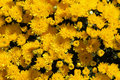 Autumn Mums Stock Photography