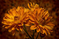 Autumn Mums Royalty Free Stock Photo
