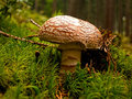 Autumn mushroom amanita rubescens in green moss Stock Images