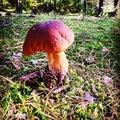 Autumn mushroom sopp høst nordkoster Royalty Free Stock Image