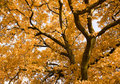 Autumn oak Stock Image
