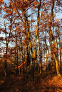 Autumn oak forest with fallen leaves and blue sky Royalty Free Stock Photo
