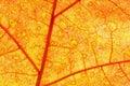 Autumn Oak Leaf Royalty Free Stock Images