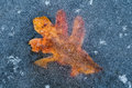 Autumn oak leaf frozen in ice an along a mountain lake the appalachian mountains Royalty Free Stock Image