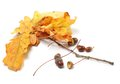 Autumn oak leaves and acorns Royalty Free Stock Images