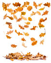 Autumn oak leaves falling to the ground white background Royalty Free Stock Photo