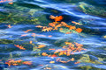 Autumn Oak Leaves Floating on Water Royalty Free Stock Image