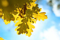 Autumn oak leaves in sunlight Royalty Free Stock Photos
