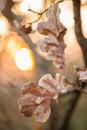 Autumn oak leaves at sunset Royalty Free Stock Photo